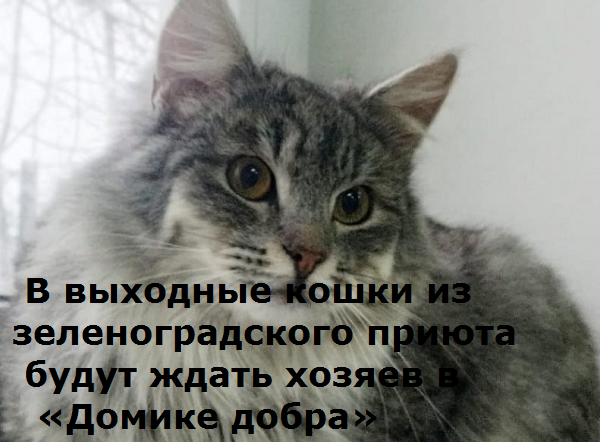 В выходные кошки из зеленоградского приюта будут ждать хозяев в «Домике добра»